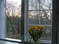 Tulipaner i vindue
