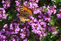Sommerfugl på blomstrende busk